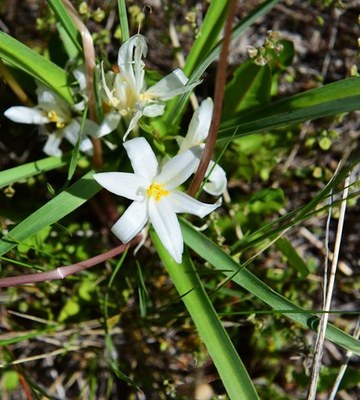Star Lily