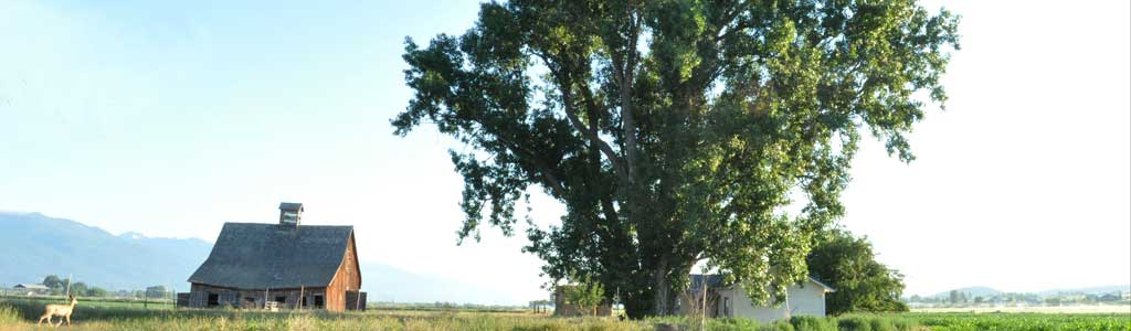 National Champion Plains Cottonwood, Corvallis, MT