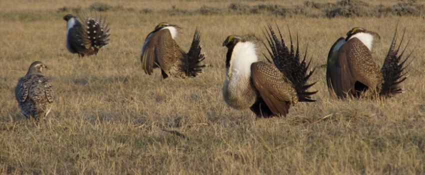 4 male sage grouse courting one female