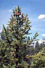 CN_Conifers_blackspruce.jpg