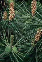 CN_Conifers_lodgepolepine.jpg