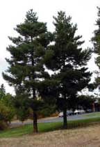 CN_Conifers_scotchpine.jpg