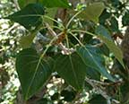 CN_Deciduous_BlackCottonwood.jpg