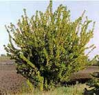 CN_Shrubs_caragana.jpg