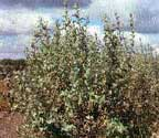 CN_Shrubs_silverberry.jpg