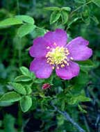 CN_Shrubs_woodsrose.jpg